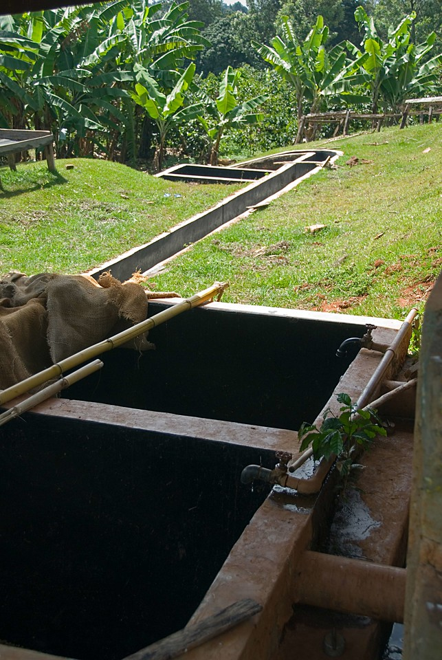 Once the beans are ready to be washed a stream of water from the faucets above the tanks carries the beans through a long concrete channel.  Men will paddle the water opposite the flow, creating turbulence and thereby also separating beans by density.  The denser coffees are better. They will go to the soaking tanks, seen at the far end, where they will stay another 24 hours.