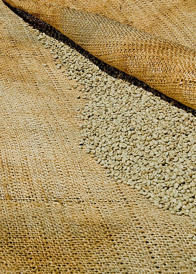 Sisal is used to absorb moisture and to cover the beans when the sun is hottest.