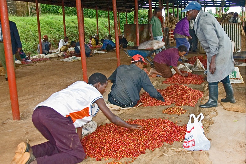 At the Kangocho Cooperative Factory small farmers sort their cherries. Only ripe cherry should be pulped for the best quality.