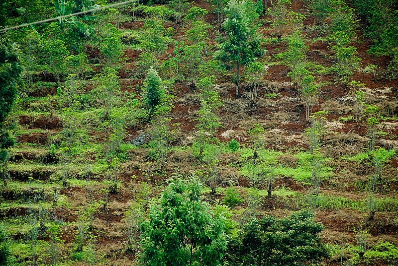Back in the 1980's, I believe, shade trees were removed from coffee farms in an effort to increase production.  This may have worked for well funded estates but for small farmers it has been harmful, overall.  Coffee trees without sufficient shade require far more fertilizer while soils are more prone to erosion.  When farmers cannot afford these inputs production plummets. This is now being addressed.
