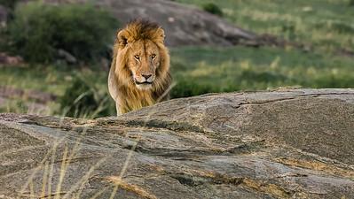 Lions of Kenya