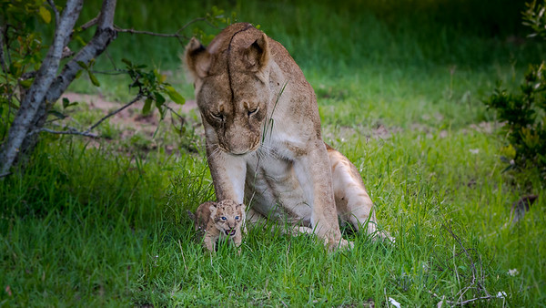 Quietly, the female lion got up and walked over to the cub.