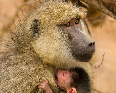 Yellow Baboon Nursing Her Infant, Amboseli NP, Kenya