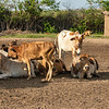 Boran cattle in the boma