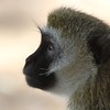 Black-Faced Vervet