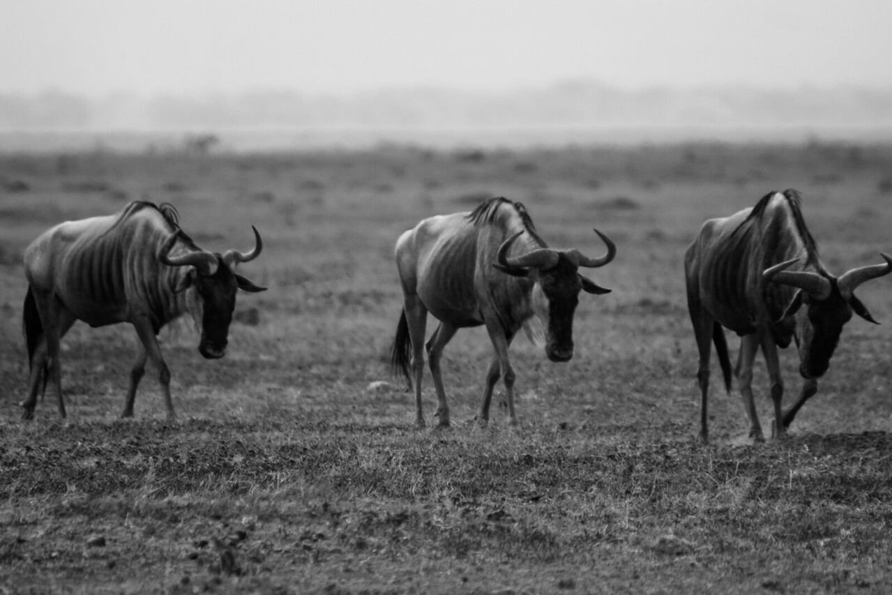 Weary travelers in the middle of Amboseli's dry season (January).