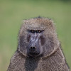Olive Baboon 8273