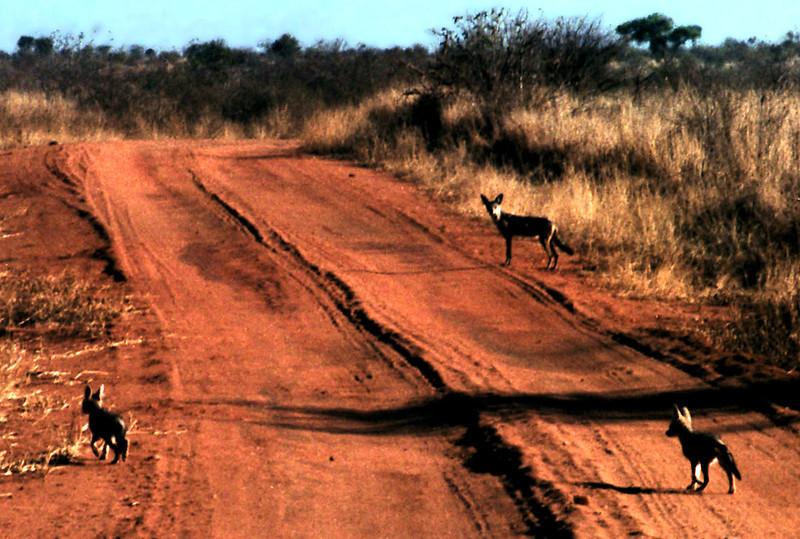Wild Dogs, leaving Tsavo National Park