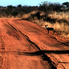 Wild Dogs, leaving Tsavo National Park