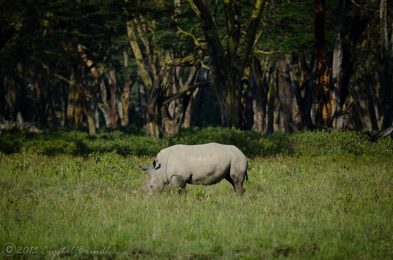 White Rhino and a Deep Forest