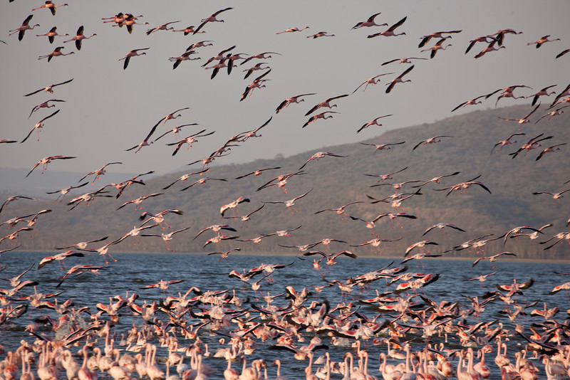 Flamingos in Lake Nakuru National Park, Kenya. By Doug Cheeseman in February 2012.