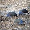 Guinea fowl, Samburu