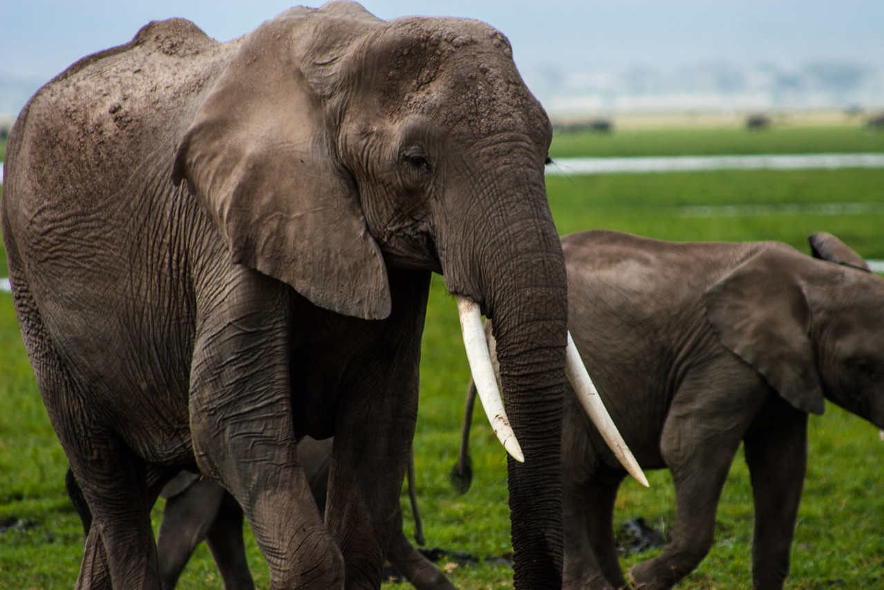 During my 2009 stay in Amboseli National Park, I was told that the 252 sq km park is home to around 750 elephants – roughly 3 elephants per sq km. Naturally, I went there to spend some time up close with these incredible giants.