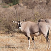 Beisa Oryx in Samburu National Reserve, February 24, 2018.  Debra Herst