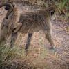 monkeys at Amboselli, Kenya