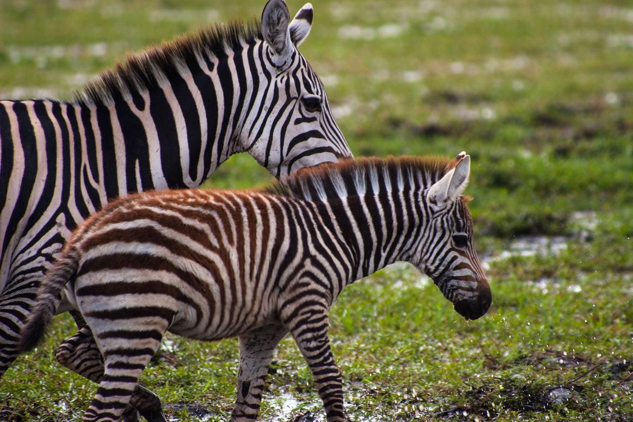 A zebra and her foal grazing in the marshlands of Amboseli