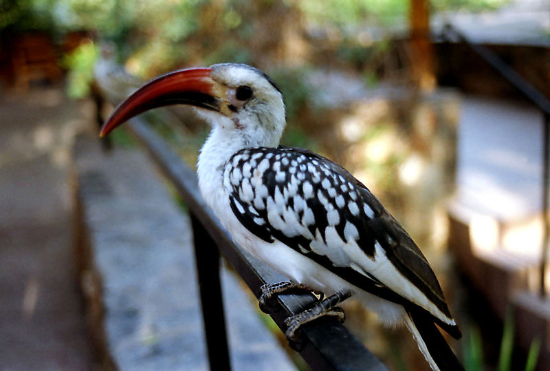 Red-Billed Hornbill, Samburu