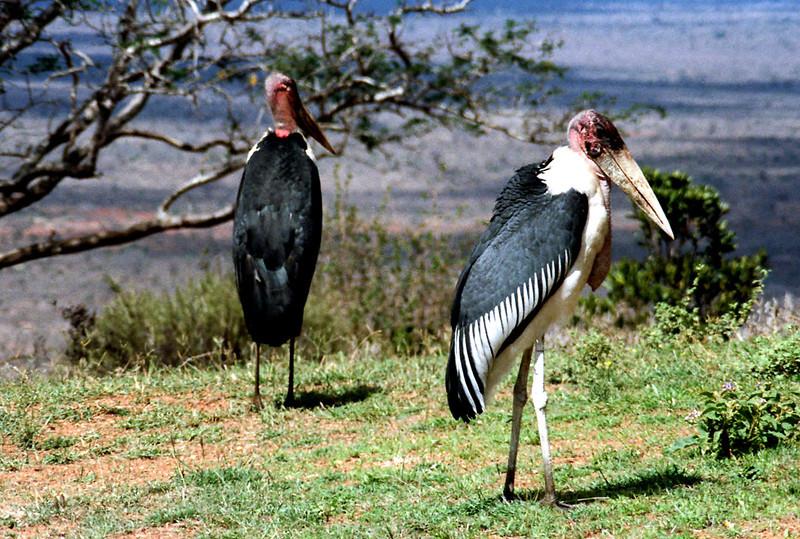 Marabou Stork, Tsavo National Park