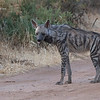 A rare sighting of a Striped Hyena at Ol Pejeta Conservancy. February 23, 2018.  Debra Herst