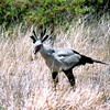 Secretary Bird, Samburu