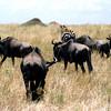 Wildebeest, Masai Mara