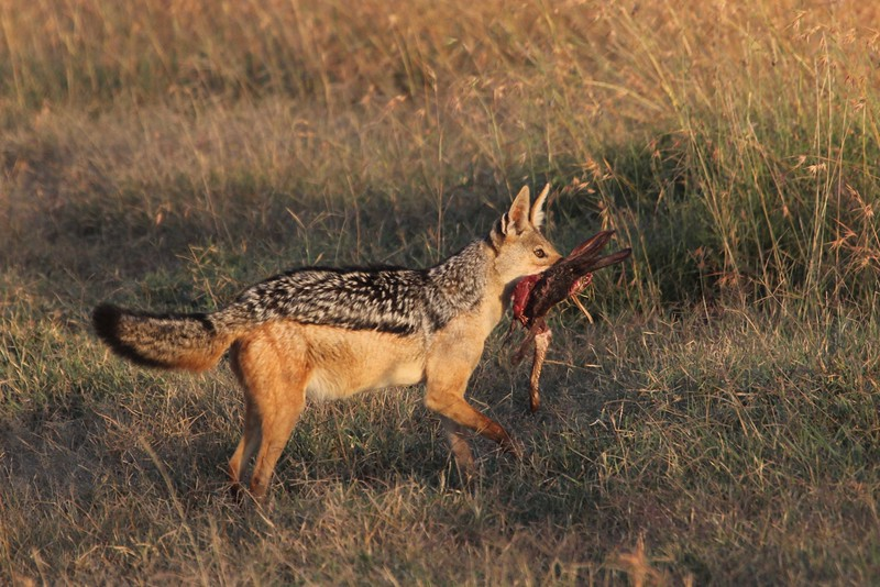 This Black-Backed Jackal walked around near us for quite a while with the partially eaten Cape Hare. Maybe the jackal wanted to bring it it back to its den, but didn't want us to see where it was? Taken in Ol Pejeta Conservancey by Laurel Rezeau, 2/23/16.