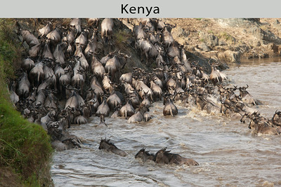 Wildebeest (also called White-bearded Gnu) must cross the Mara River during their Serengeti migration to follow the fresh grass. Taken in Kenya by Doug Cheeseman in July 2005.