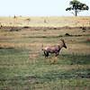 Topi, Masai Mara