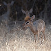 We came upon this Kirk's Dik Dik with his head fur raised, upset about something. Ol Pejeta Conservancy. February 23, 2018.  Debra Herst