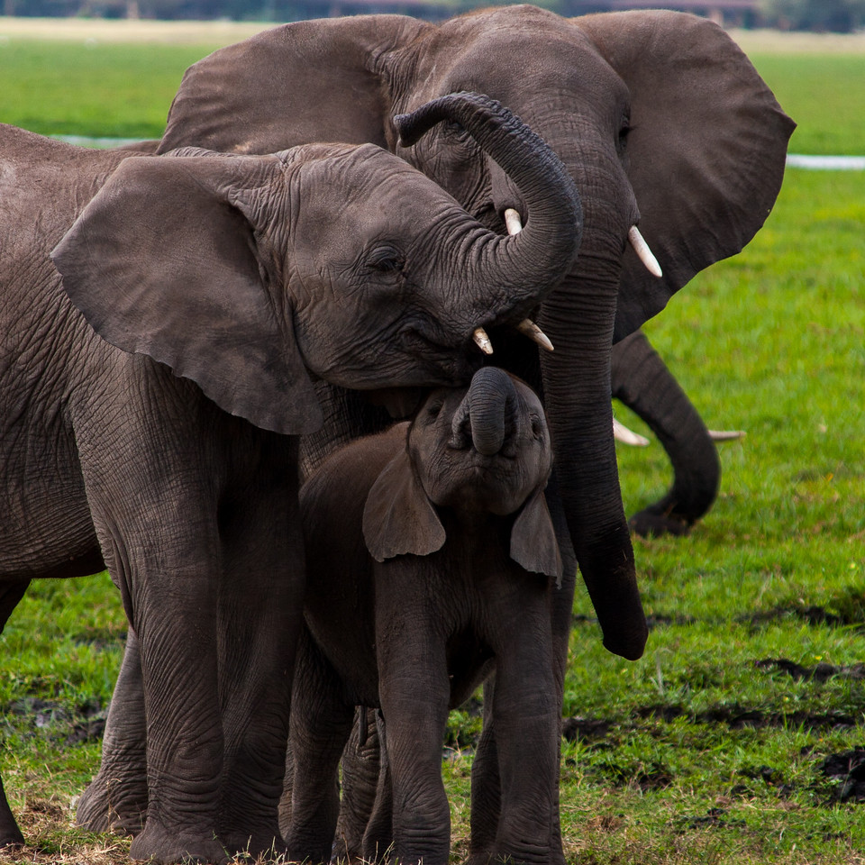 The warmth of elephants towards one another is endlessly evident and amazing.