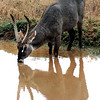 Waterbuck, Tsavo National Park