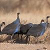 Vulturine Guineafowl (Acryllium vulturinum), Samburu and Buffalo Springs National Reserves, Kenya. By Doug Cheeseman in August 2010.