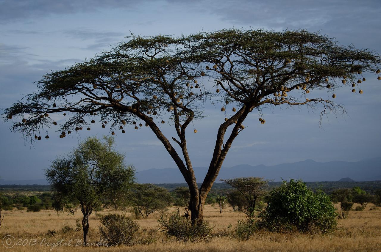 Samburu Acacia