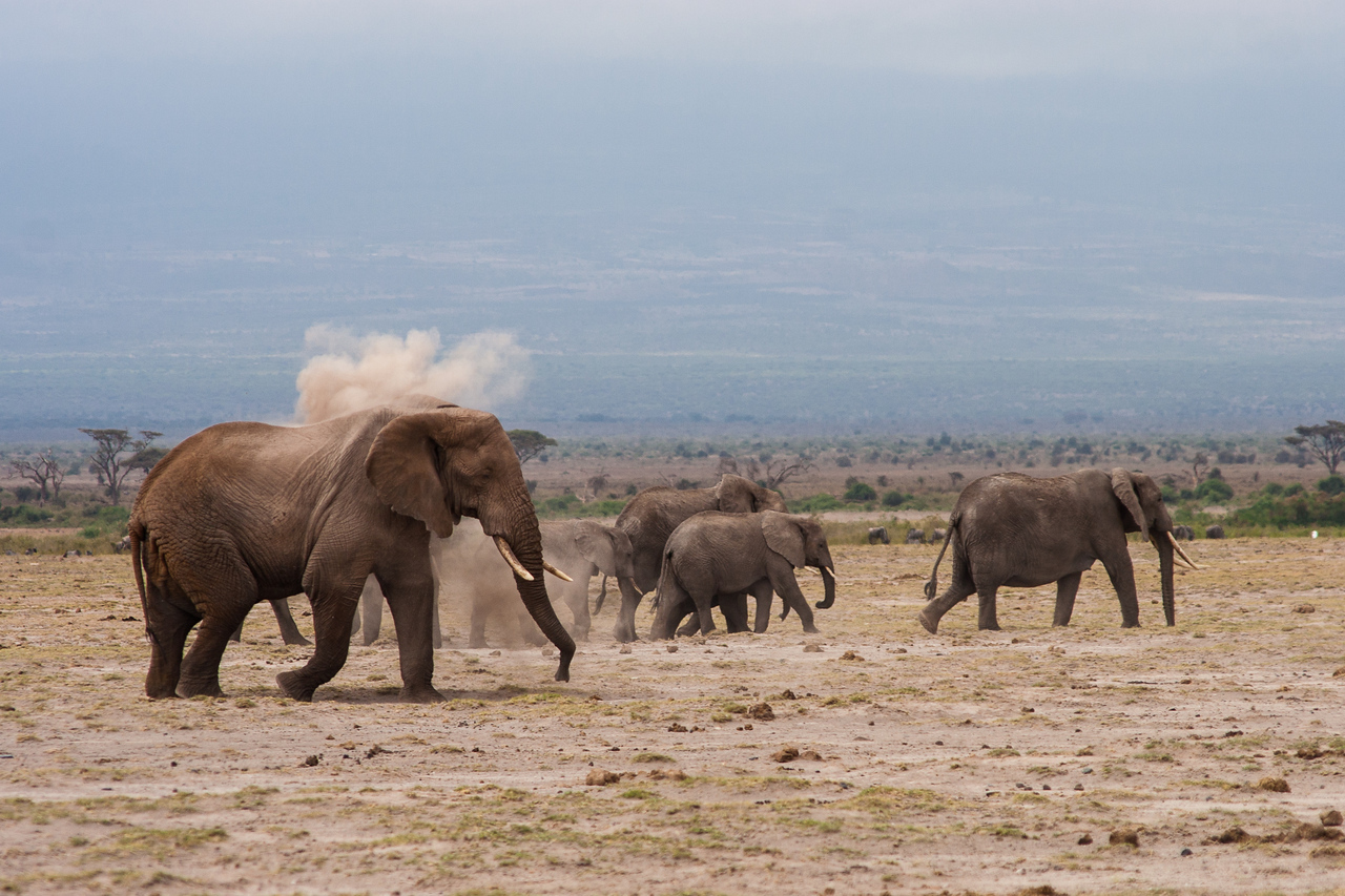 An elephant bathes himself in dirt during Amboseli's dry season.