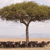 Wildebeest find some shade under an Acacia tree in the Mara Triangle, Kenya. By Doug Cheeseman in August 2008.
