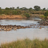 Wildebeest and Common Zebras cross the Mara River in the Masai Mara Game Reserve, Kenya. By Doug Cheeseman in August 2012.