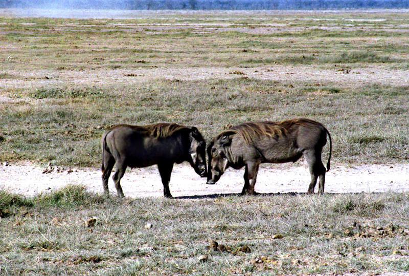 Warthogs, Amboseli National Park