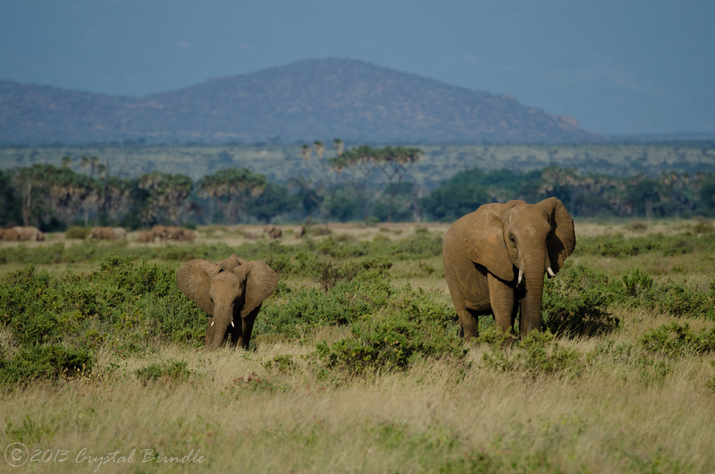 Elephants of Samburu