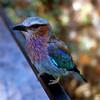 Lilac Breasted Roller, Samburu