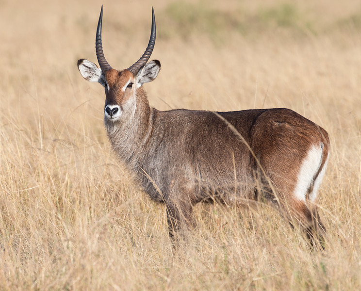 Defassa Waterbuck in the Masai Mara Game Reserve, Kenya. By Doug Cheeseman in August 2012.