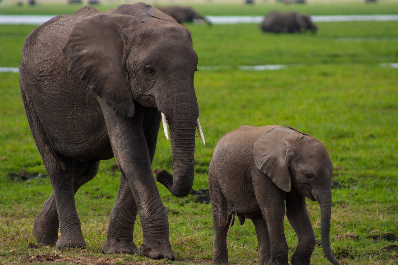 A mother and calf walk in stride