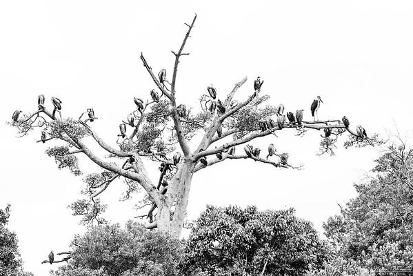 Gamträdet