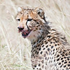 Cheeta after feeding on a recent kill taken at the Mara.