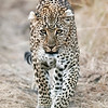 Leopards, Masai Mara,National Reserve :
