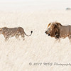 A break for the Breeding Lions in the Mara Natural Preserve! We following this pair for quite awhile. They really put on a show for us.