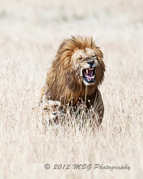 Breeding Lions in the Mara Natural Preserve! We following this pair for quite awhile. They really put on a show for us.