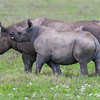 Africa. Tanzania. Black Rhinocerus female and calf at Ngorongoro Crater, Ngorongoro Conservation Area.