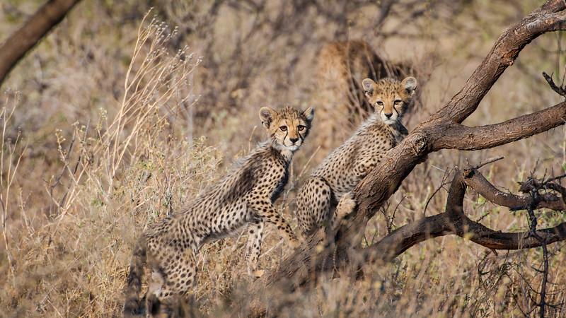 Young cheetahs at Samburu NP, Kenya.