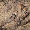 Young cheetahs at Samburu NP, Kenya.