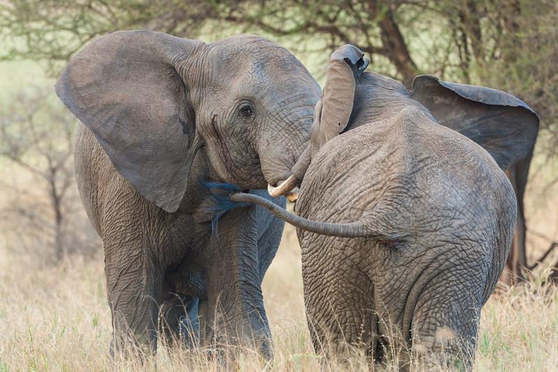 Africa. Tanzania. Bull Elephants sparring at Tarangire NP.